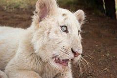 Белый новичок тигра Бенгалии Стоковые Изображения