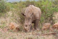 Белый носорог в запасе игры Pilanesberg, Южная Африка Стоковые Изображения RF