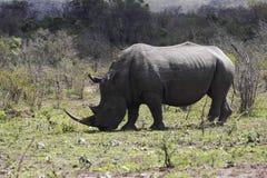 Белый носорог в натуральную величину Стоковая Фотография