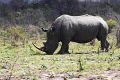 Белый носорог в натуральную величину Стоковые Изображения RF