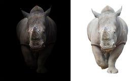 Белый носорог в темной и белой предпосылке Стоковая Фотография RF