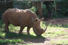 Белый носорог Найроби Стоковое Изображение RF