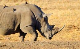Белый носорог, национальный парк Kruger, Южная Африка Стоковая Фотография