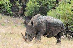 Белый носорог предусматриванный в грязи Стоковая Фотография RF