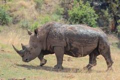 Белый носорог предусматриванный в грязи Стоковое фото RF