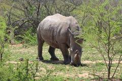 Белый носорог смотря на вперед Стоковое Изображение RF