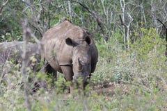 Белый носорог смотря на вперед Стоковые Фото