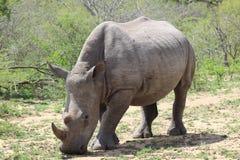 Белый носорог смотря на вперед Стоковые Изображения