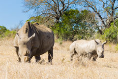Белый носорог с щенком, Южной Африкой Стоковое Изображение
