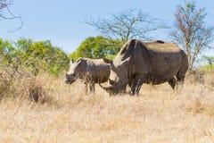 Белый носорог с щенком, Южной Африкой Стоковые Фотографии RF