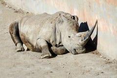 Белый носорог Стоковые Изображения RF