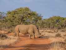 Белый носорог Стоковое Изображение