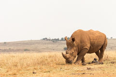 Белый носорог & x28; Simum& x29 Ceratotherium; Стоковое Фото