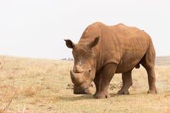 Белый носорог & x28; Simum& x29 Ceratotherium; Стоковые Изображения RF