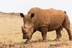 Белый носорог & x28; Simum& x29 Ceratotherium; Стоковые Фотографии RF