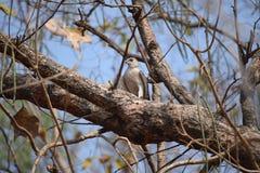 Белый орел распологая на дерево Стоковые Фото