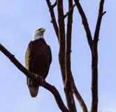 Белый орел лысой головы стоковая фотография