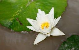 Белый лотос в бассейне Стоковые Фото