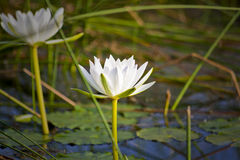 Белый лотос в заболоченных местах Стоковое Фото
