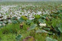 Белый лотос в озере Стоковые Изображения