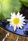 Белый лотос в пруде Стоковое Изображение RF