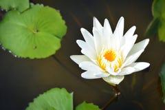 Белый лотос в пруде Стоковые Фото