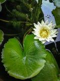 Белый лотос в пруде Стоковые Изображения