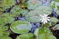 Белый лотос - Индия Стоковое фото RF