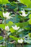 Белый лотос и зеленая предпосылка лист Стоковые Изображения