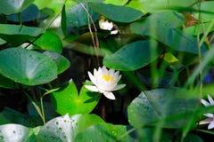 Белый лотос, лилия воды Стоковые Изображения RF