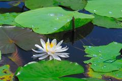 Белый лотос, лилия воды Стоковое Изображение RF