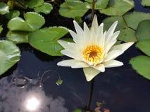 Белый лотос с отражает солнечность Стоковая Фотография
