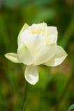 Белый лотос Стоковая Фотография RF