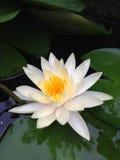 Белый лотос Стоковые Фотографии RF