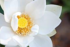 Белый лотос Стоковая Фотография