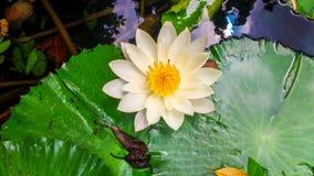 Белый лотос Стоковые Фото