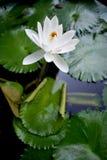 Белый лотос Стоковое Изображение RF