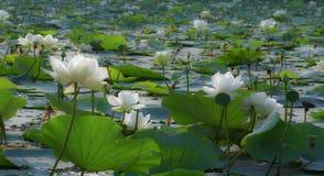 Белый лотос Стоковое Фото