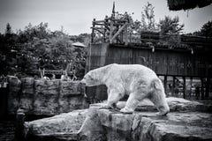 Белый охотник полярного медведя Стоковое фото RF