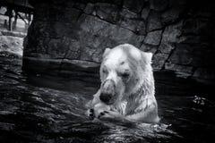 Белый охотник полярного медведя Стоковые Фотографии RF