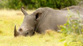 Белый охлаждать носорога Стоковая Фотография RF