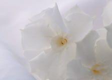 Белый олеандр Стоковая Фотография RF