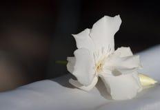 Белый олеандр Стоковые Фотографии RF