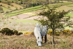 Белый одичалый пони пася Стоковое Фото