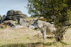 Белый одичалый пони пася Стоковые Фотографии RF