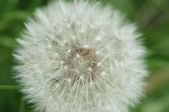 Белый одуванчик в парке лета Стоковые Изображения RF