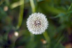 Белый одуванчик в поле среди зеленой травы над взглядом Стоковое Изображение