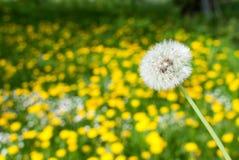 Белый одуванчик в поле Стоковое Фото