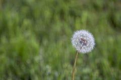 Белый одуванчик с предпосылкой зеленой травы из фокуса Стоковая Фотография RF