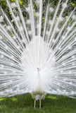 Белый павлин в Isola Mella, озере Maggiore, Италии Стоковая Фотография RF